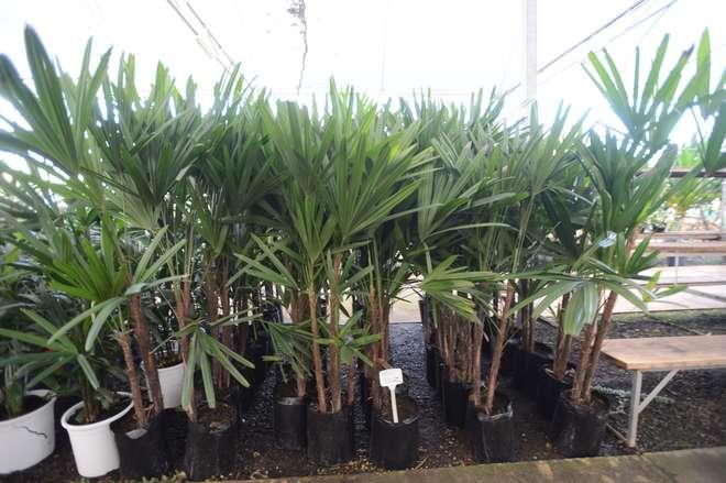 Palmeira Ráfis - ERICK PINHEIRO